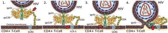 Fusión del VIH con la Membrana Celular.