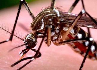 Ae. aegypti, transmisor del chikungunya